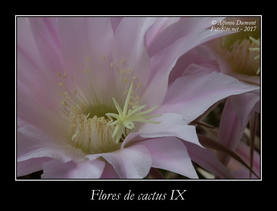 Flores de cactus IX