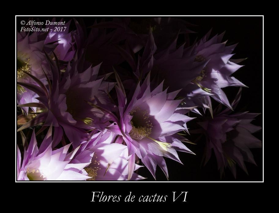 Flores de cactus VI