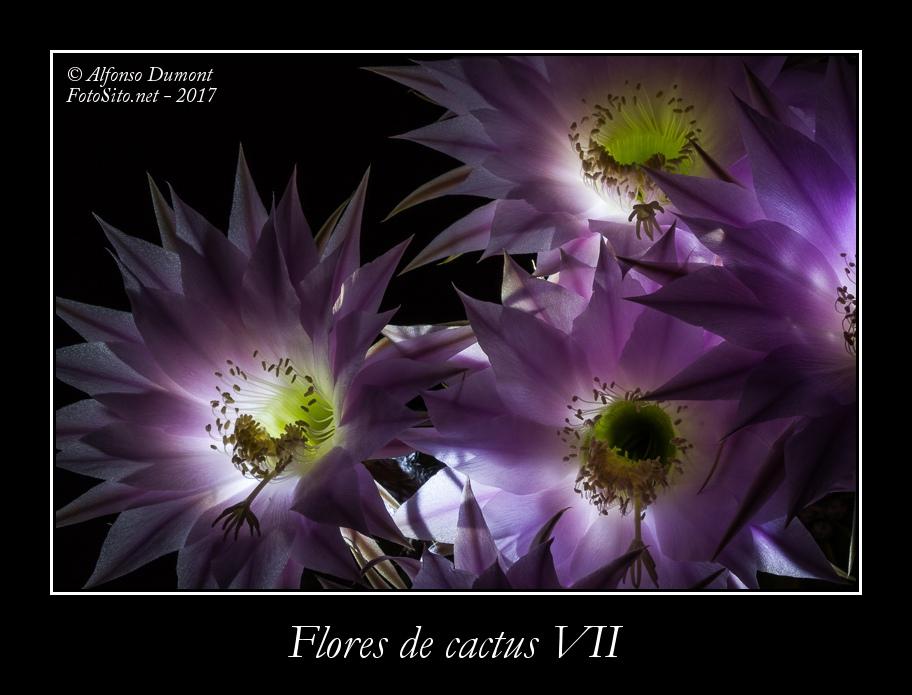 Flores de cactus VII