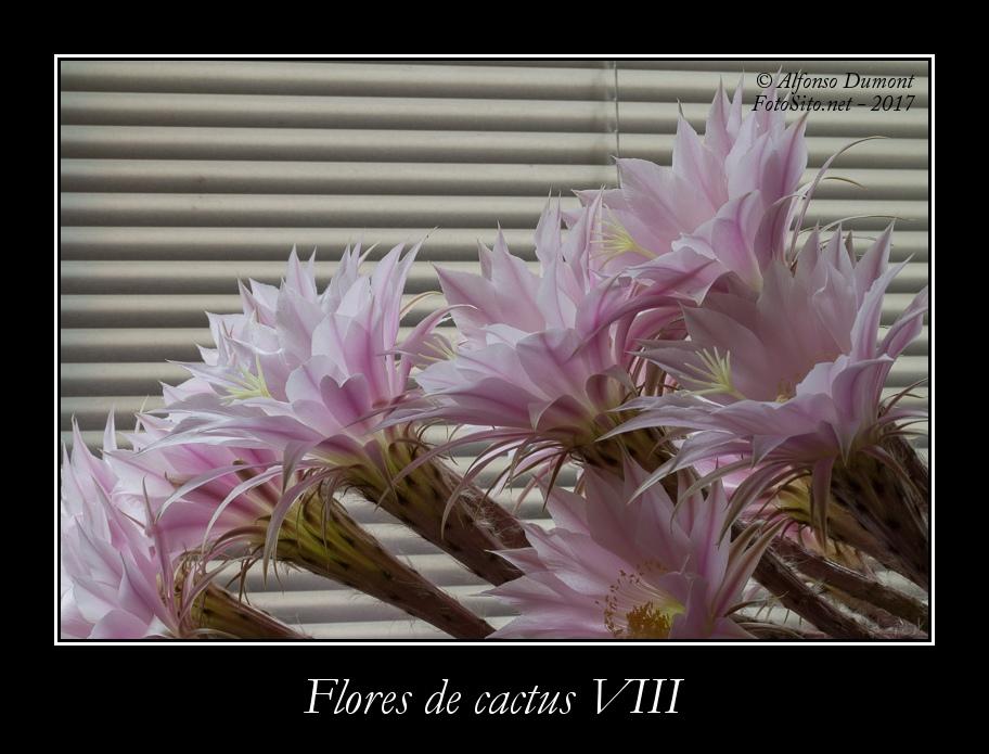 Flores de cactus VIII