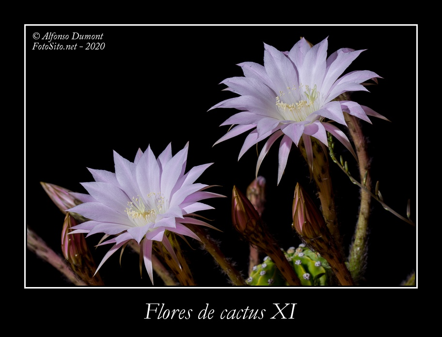 Flores de cactus XI