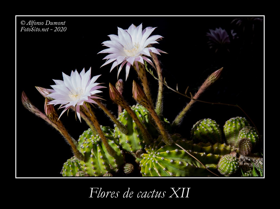 Flores de cactus XII