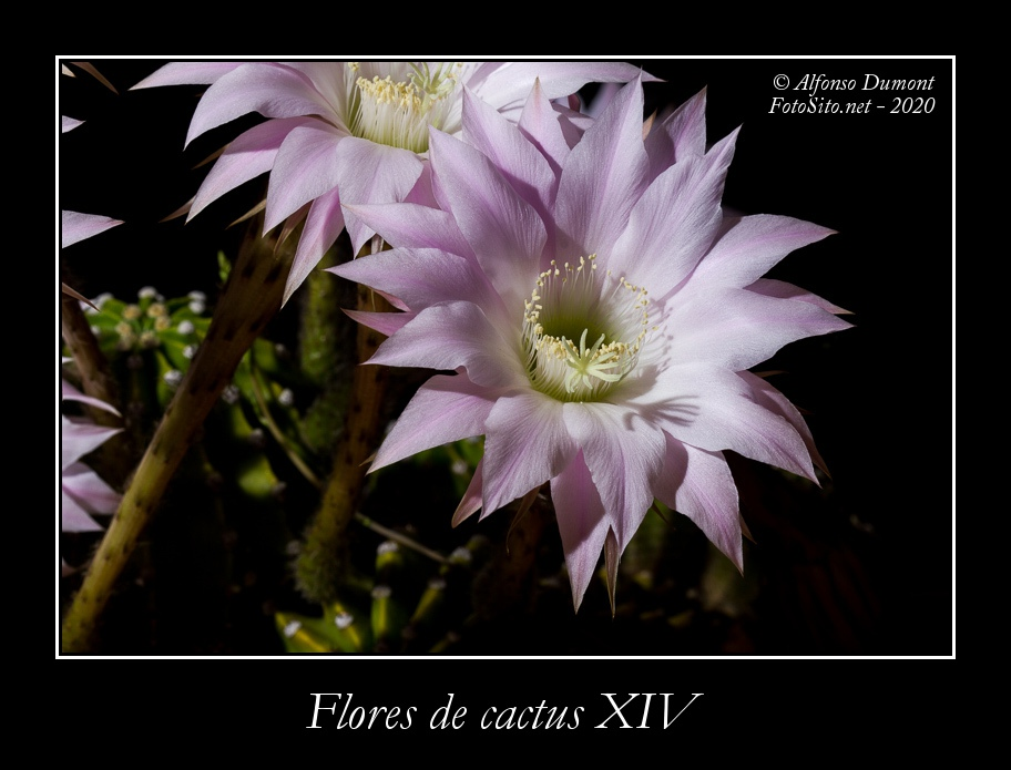 Flores de cactus XIV