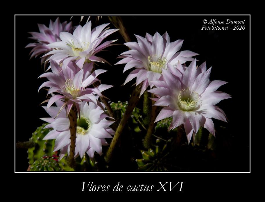 Flores de cactus XVI