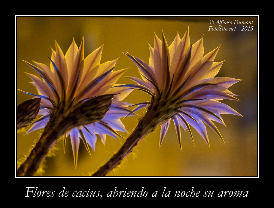 Flores de cactus abriendo a la noche su aroma